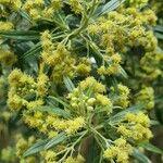 Baccharis dracunculifolia
