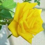 Rosa chinensis Flor