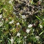 Cochlearia officinalis
