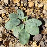 Hieracium glaucinum Celota