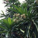 Cerbera manghas