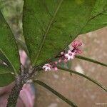 Acropogon aoupiniensis