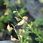 Crotalaria hyssopifolia