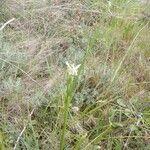 Luzula nivea Flower