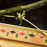 Preslianthus pittieri