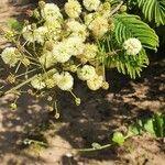 Acacia brevispica