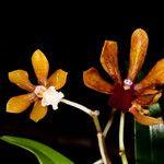Dendrobium finetianum