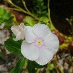 Catharanthus roseus Pflanze