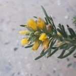 Genista linifolia