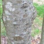 Fraxinus baroniana