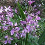 Hesperis laciniata